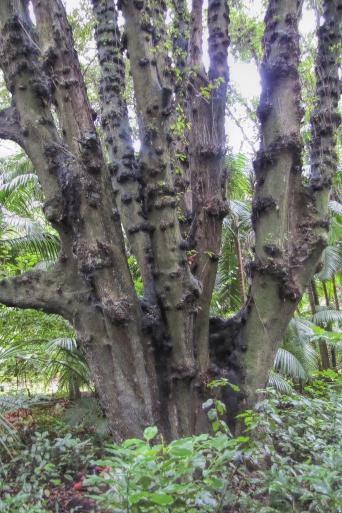 Quercus rotundifolia-rq-20140110-1a.jpg