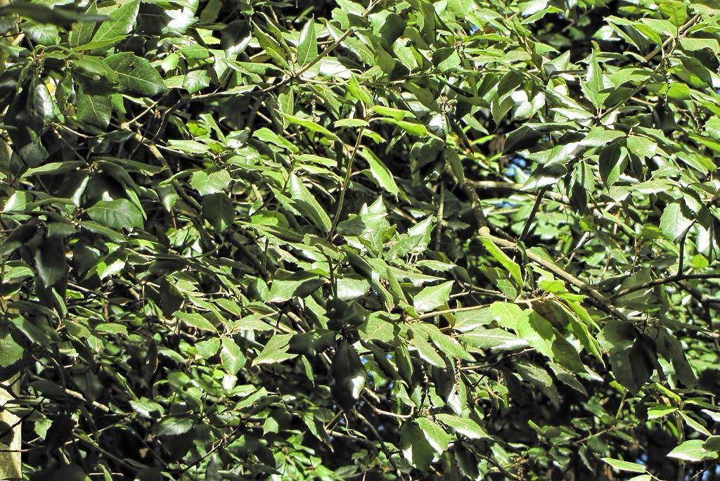 Quercus rotundifolia-rq-20130914-1p.jpg
