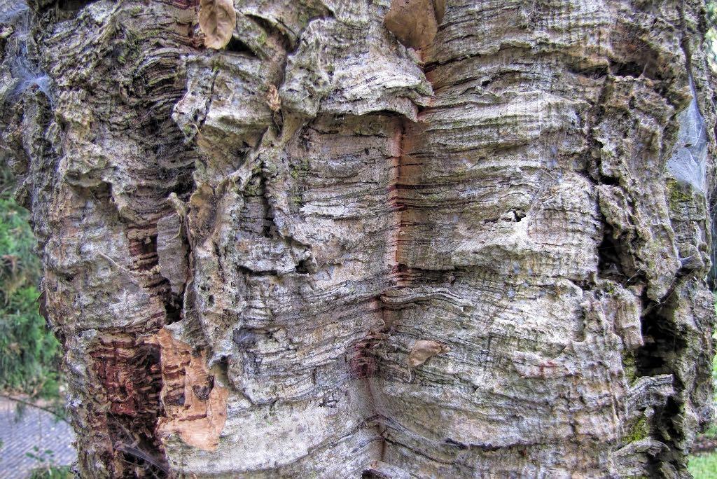Quercus suber-rq-20130914-1g.jpg
