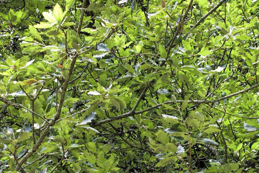 Quercus x hispanica-rq-20140612-1t.jpg