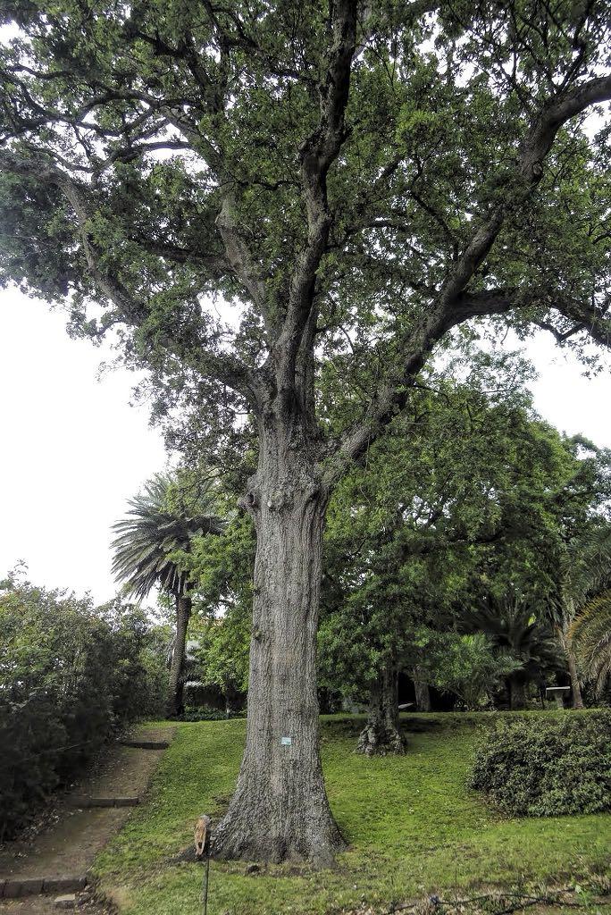 Quercus x hispanica-rq-20140508-1a.jpg
