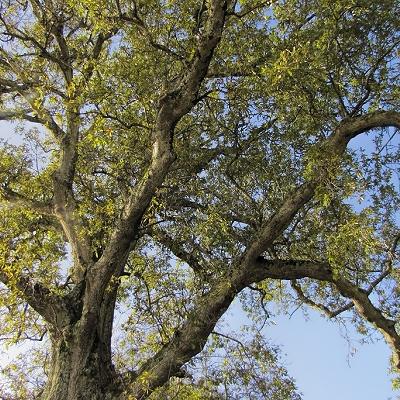 Quercus  x  hispanica