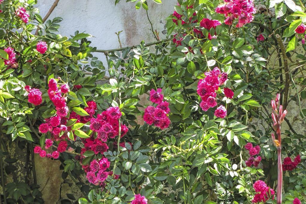 Rosa cv-rq-20140617-1a.jpg