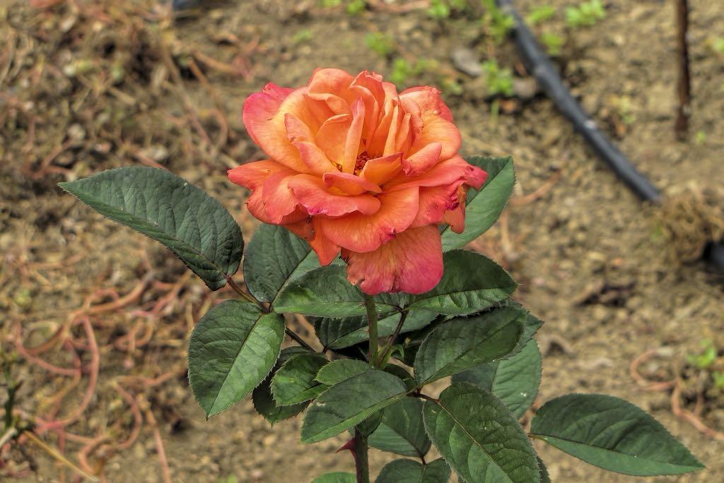 Rosa cv-rq-20130915-1f.jpg