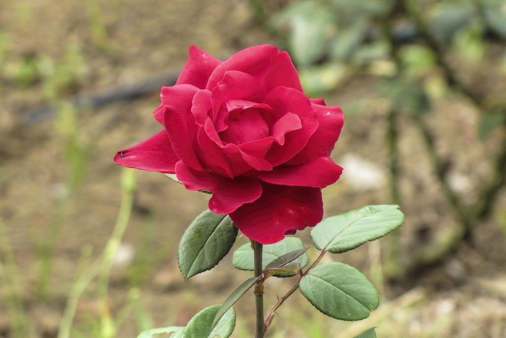 Rosa cv-rq-20130915-1e.jpg