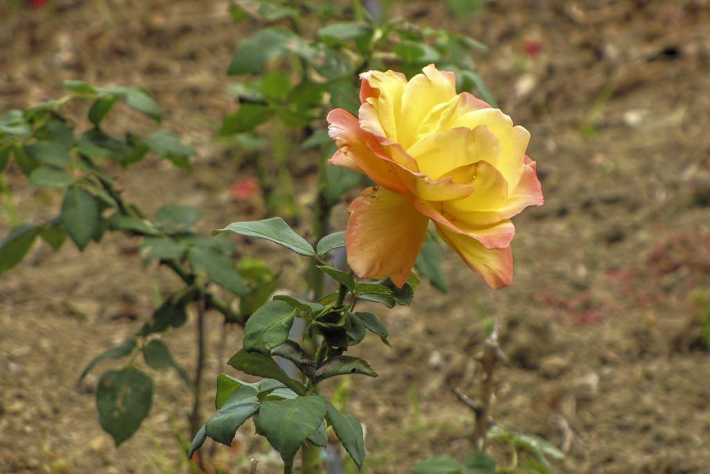 Rosa cv-rq-20130915-1a.jpg