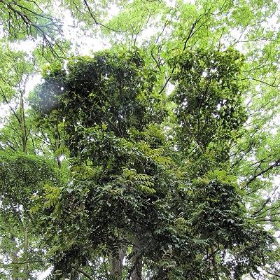 Roupala brasiliensis
