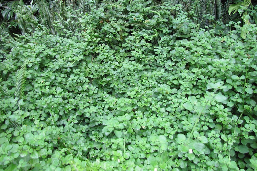 Salpichroa origanifolia-rq-20140617-1a.jpg