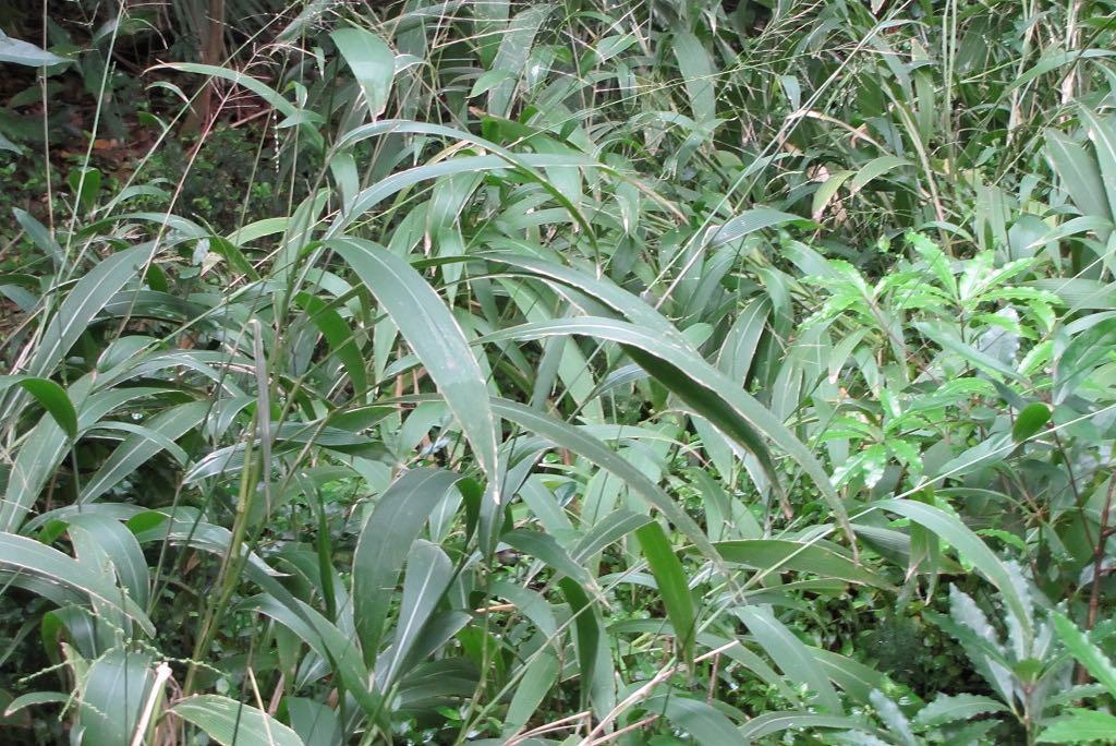 Setaria palmifolia-rq-20140108-1c.jpg