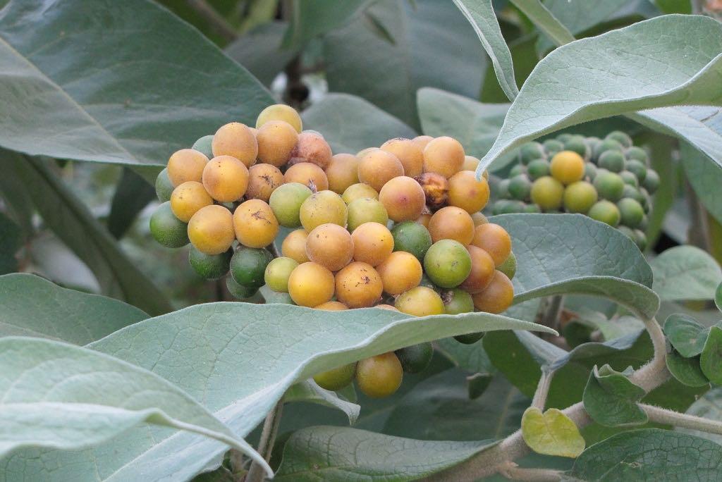 Solanum mauritianum-rq-20131005-1a.jpg