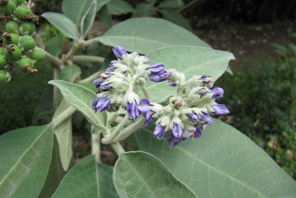 Solanum mauritianum-rq-20100722-1q.jpg