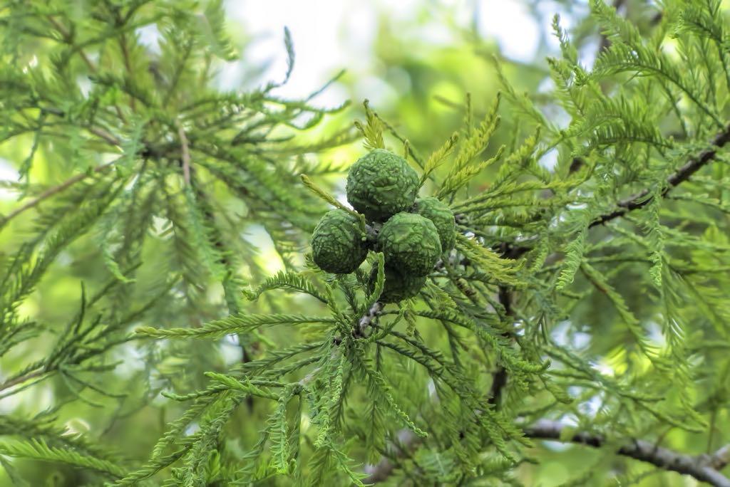 Taxodium distichum-rq-20140611-1i.jpg