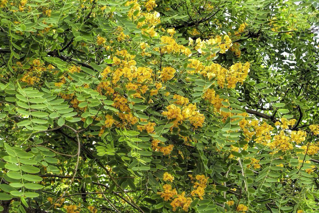 Tipuana tipu-rq-20090515-1a.jpg