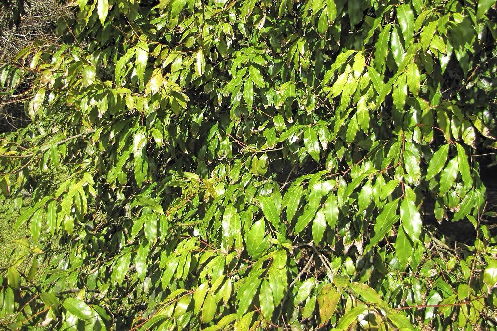 Waterhousea floribunda-rq-20140113-1r.jpg