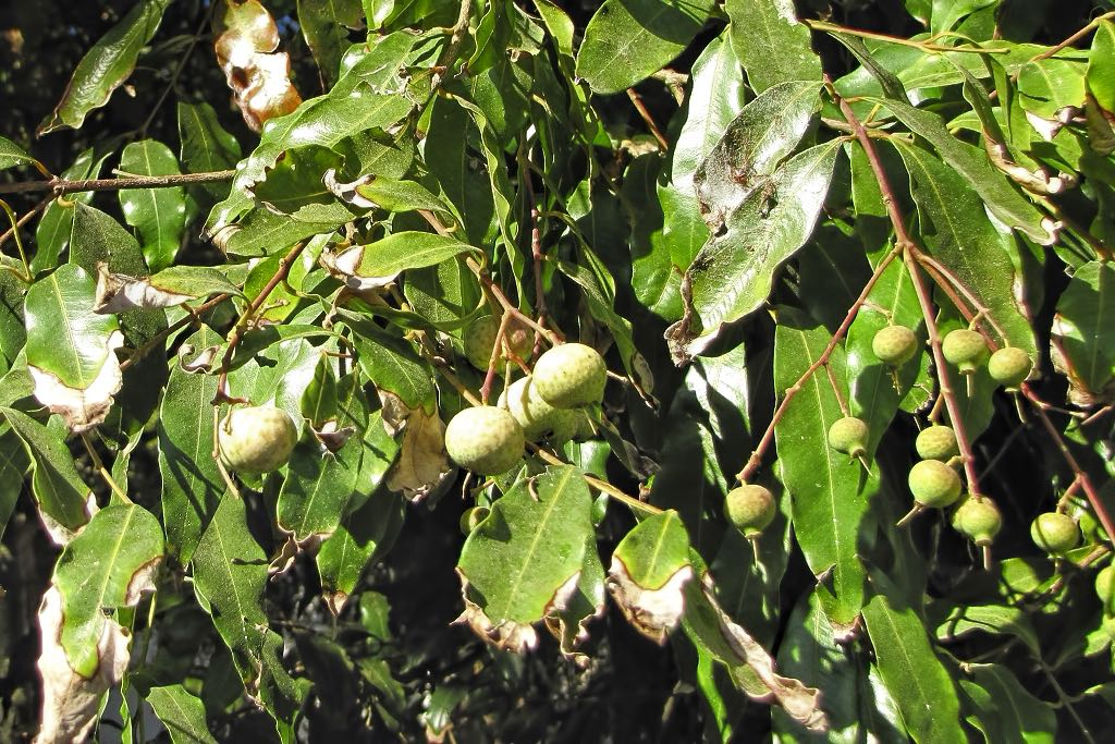 Waterhousea floribunda-rq-20130914-1b.jpg