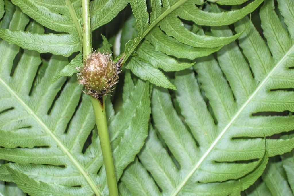 Woodwardia radicans-rq-20050611.jpg