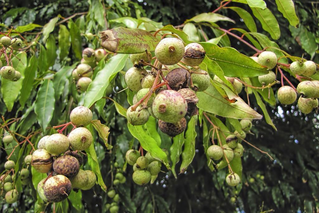 Waterhousea floribunda-rq-20141015-1g.jpg