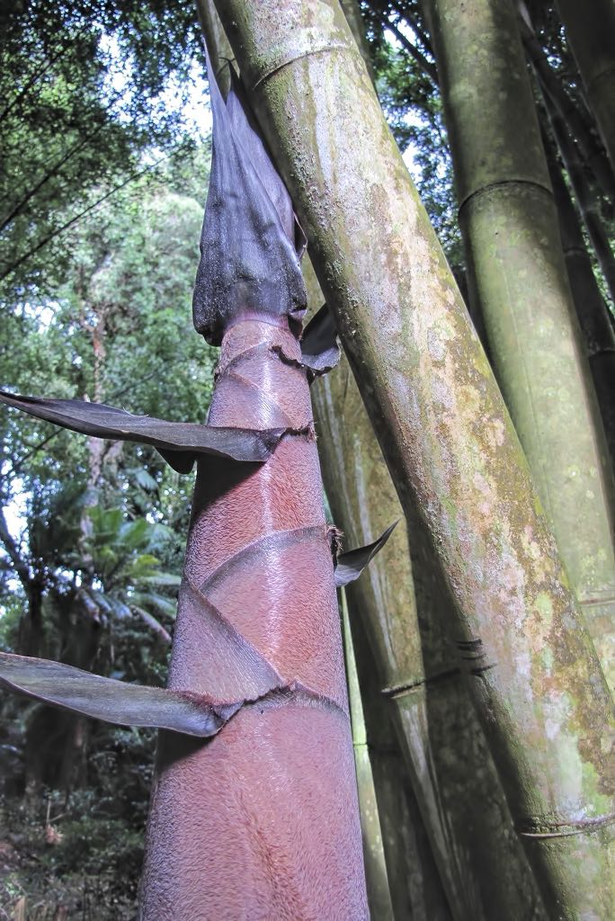 Bambusa bambos-rq-20141015-1a.jpg