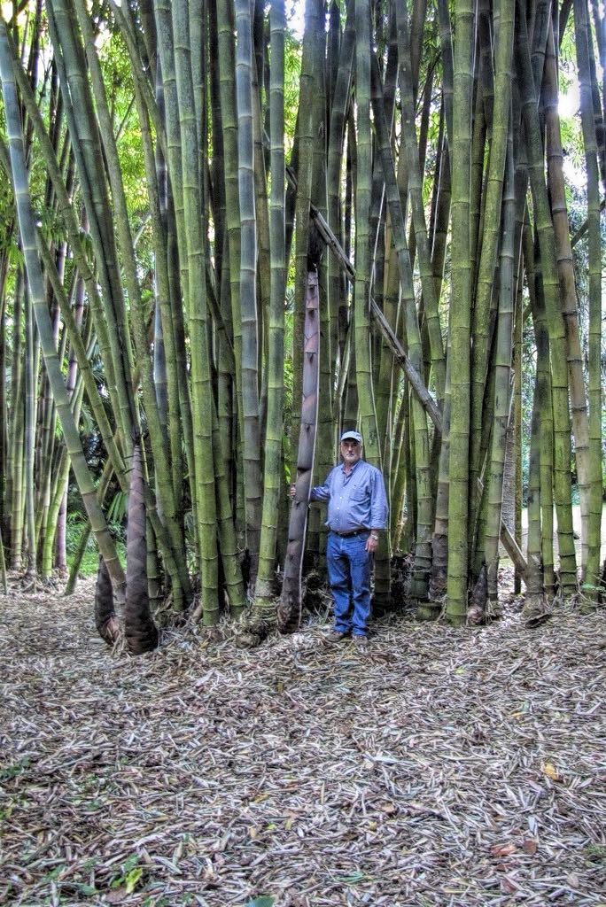 Bambusa bambos-rq-20141008-1o.jpg