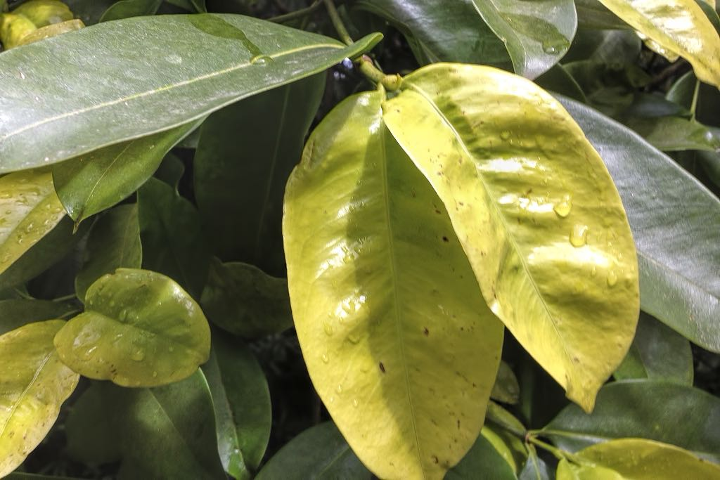 Calophyllum calaba-rq-20140416-1i.jpg