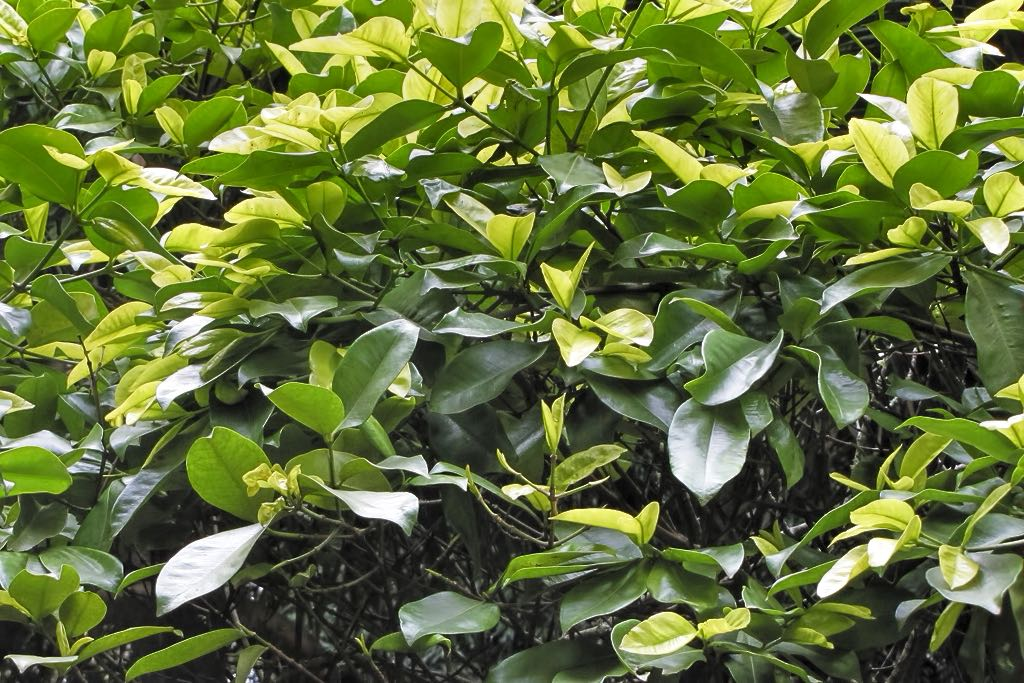 Calophyllum calaba-rq-20140316-1a.jpg