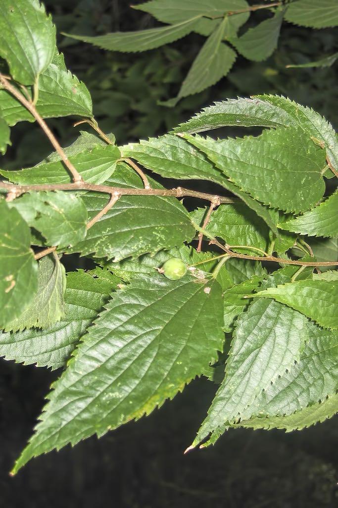 Celtis australis-rq-20061202-1a.jpg