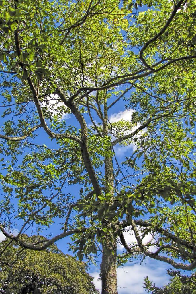 Hovenia dulcis-rq-20130914-2a.jpg