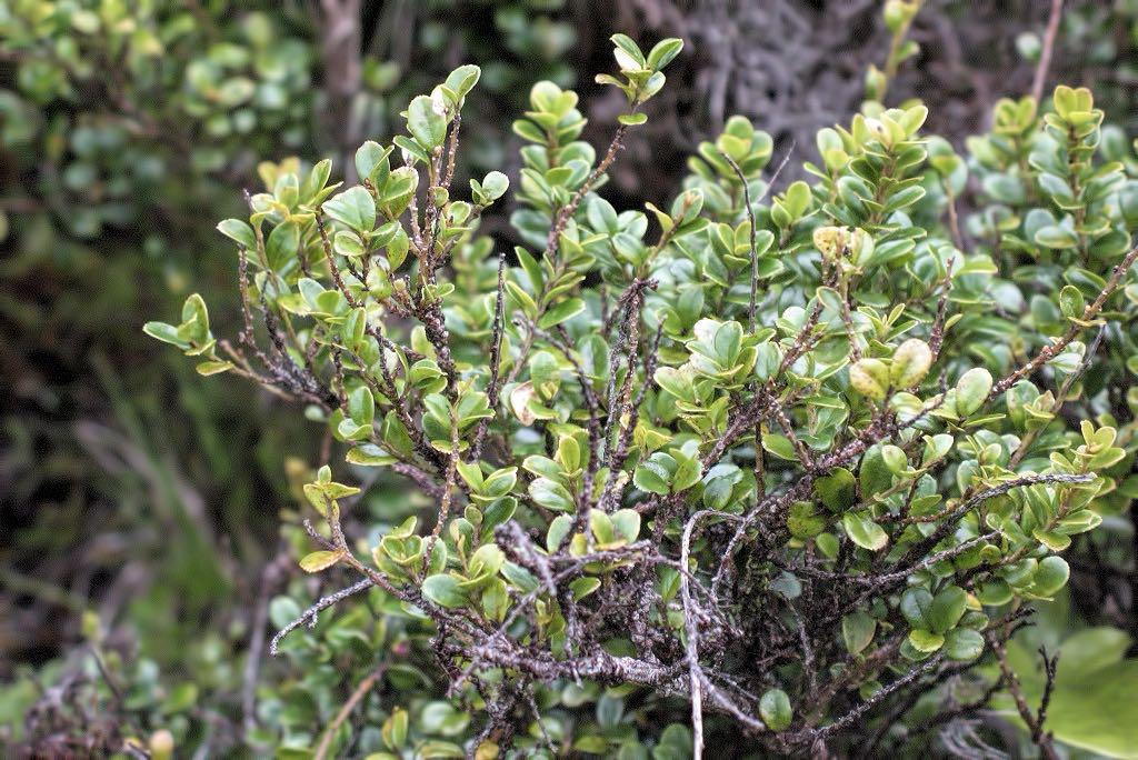 Myrsine africana-rq-20081117.jpg