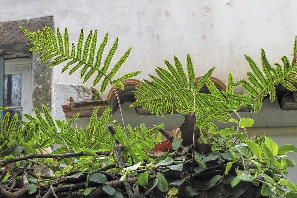 Polypodium azoricum-rq-20140316-1b.jpg