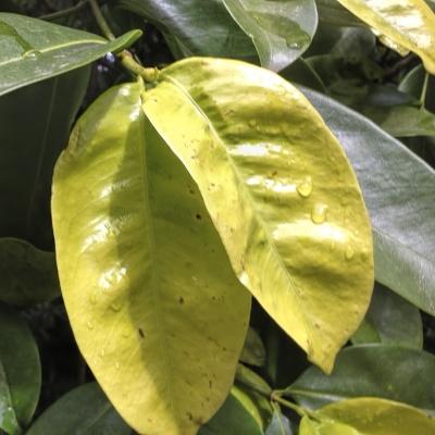 Calophyllum calaba