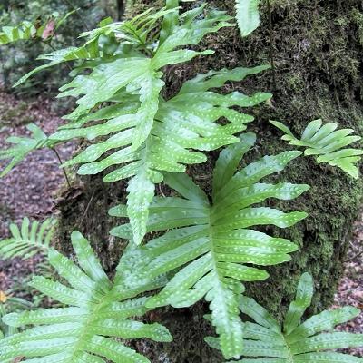 Polypodium azoricum