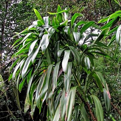 Cordyline stricta  var.  latifolia