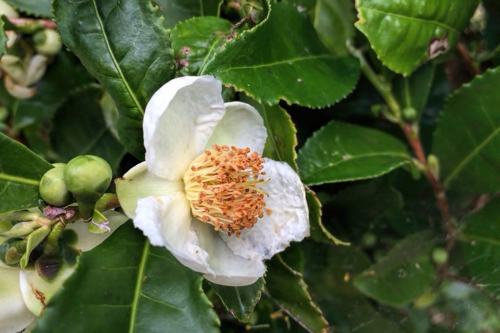 Camellia sinensis-rq-29160121-1h.jpg