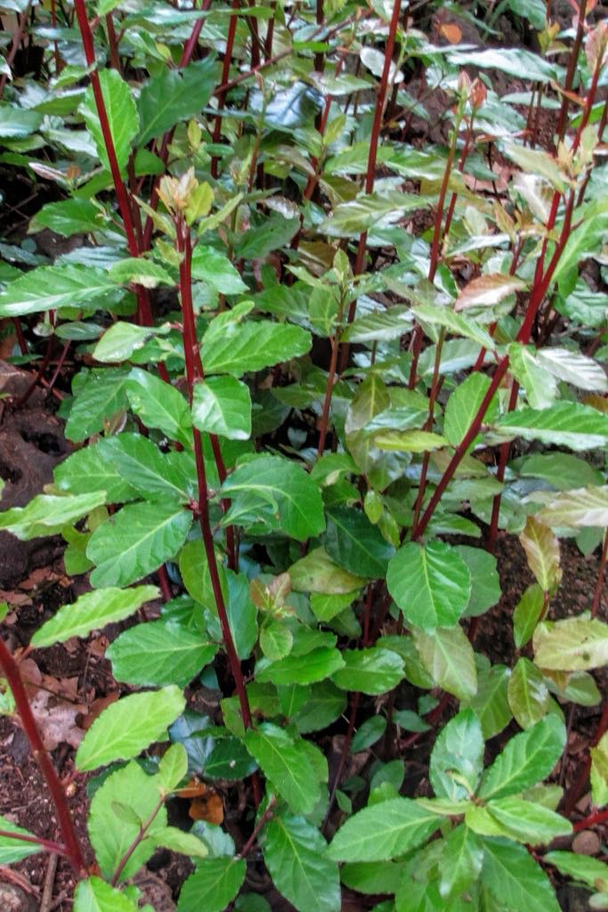 Laurus nobilis-rq-20150623-1k.jpg