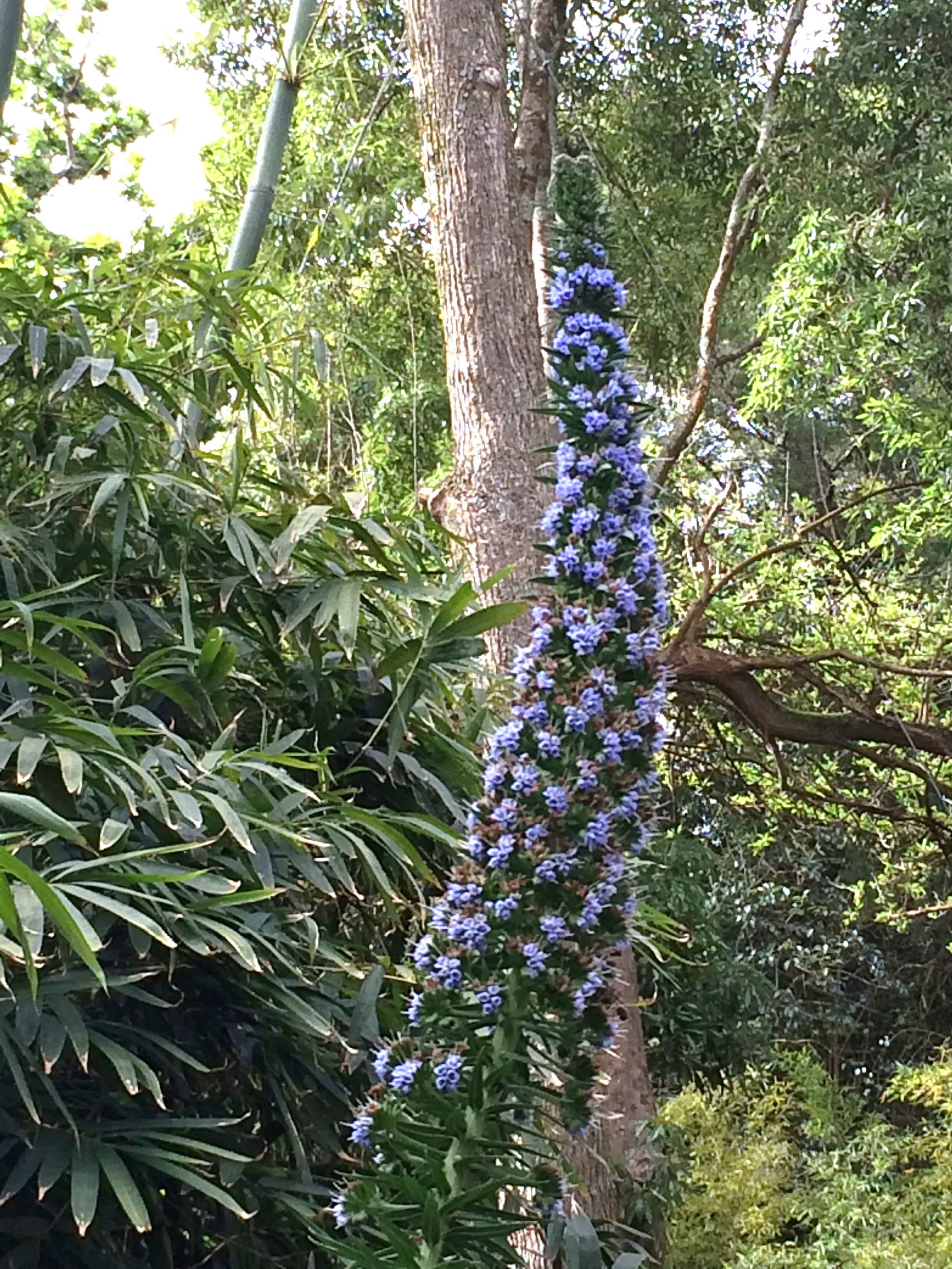 Echium candicans x pininana-24.03.17-1n (2).JPG