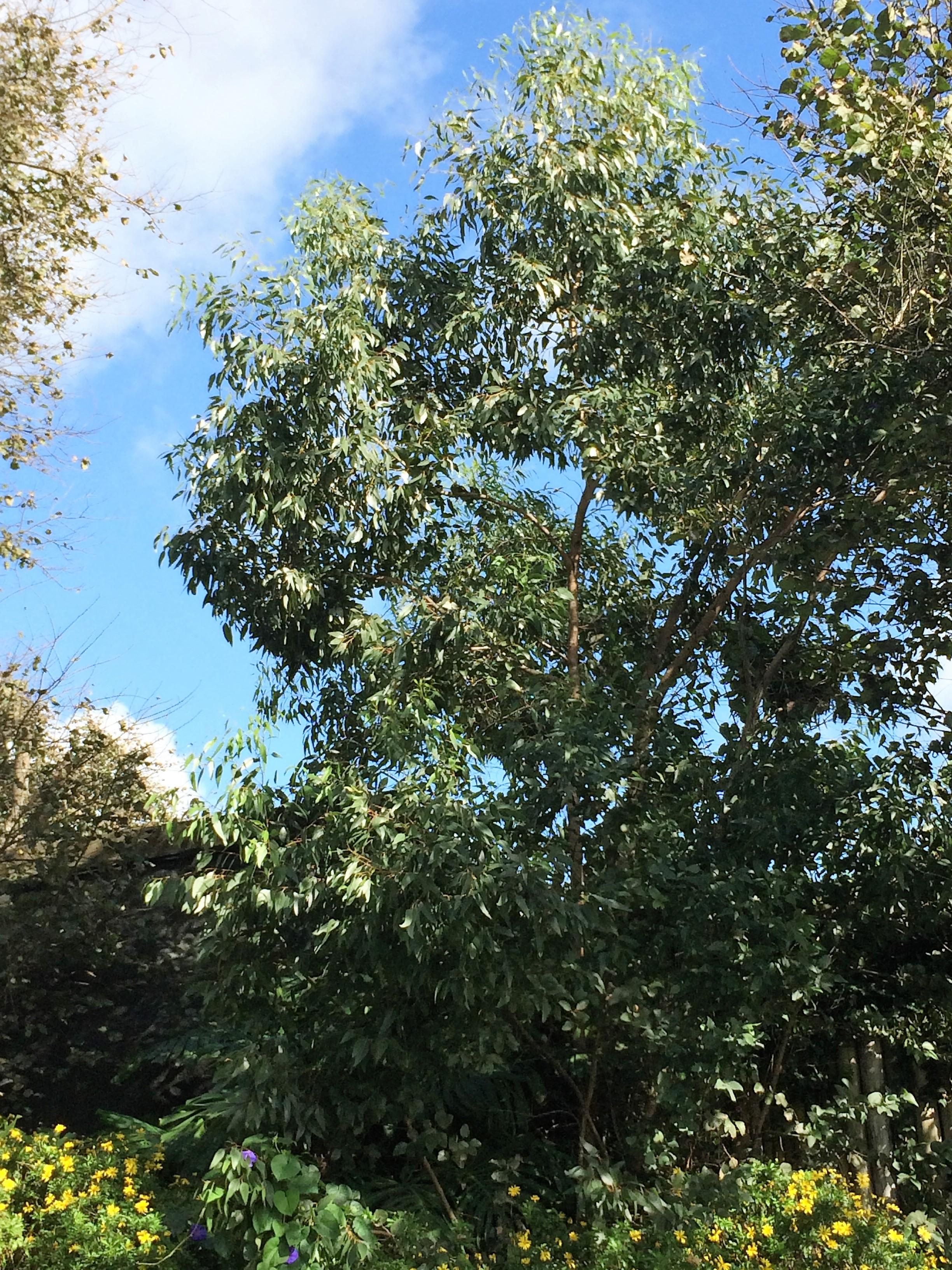 Eucalyptus globulus-1.JPG
