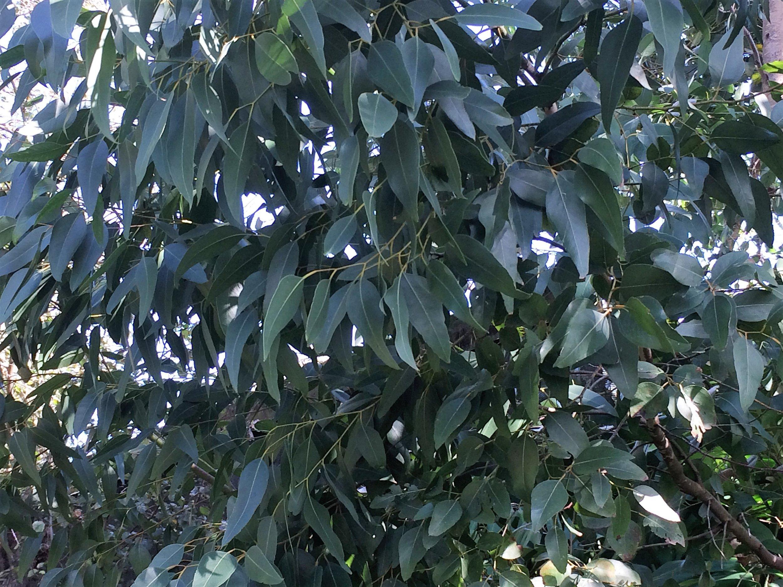 Eucalyptus globulus-3.JPG