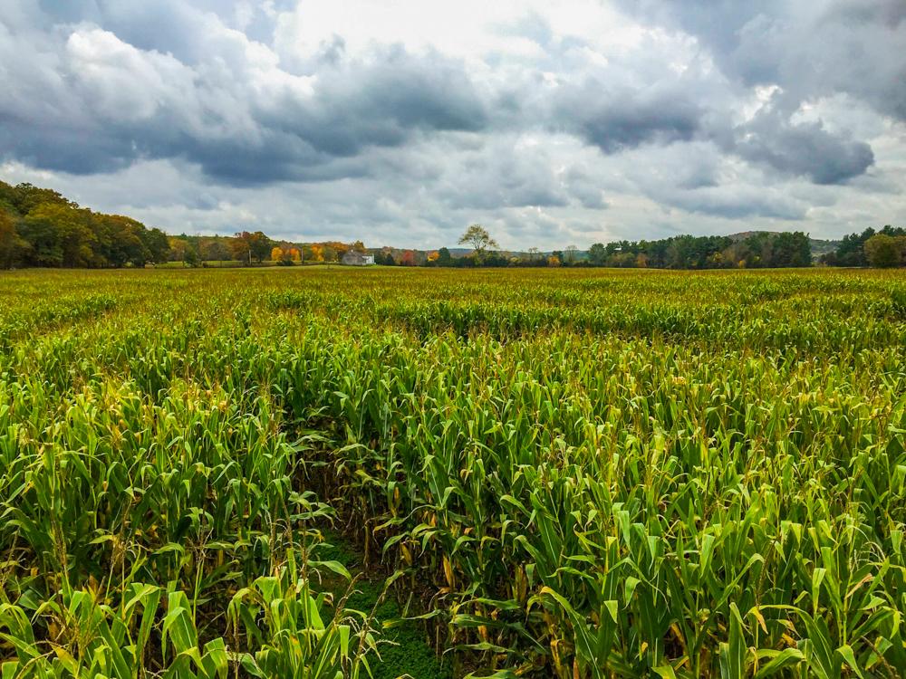 Corn Maze!!!