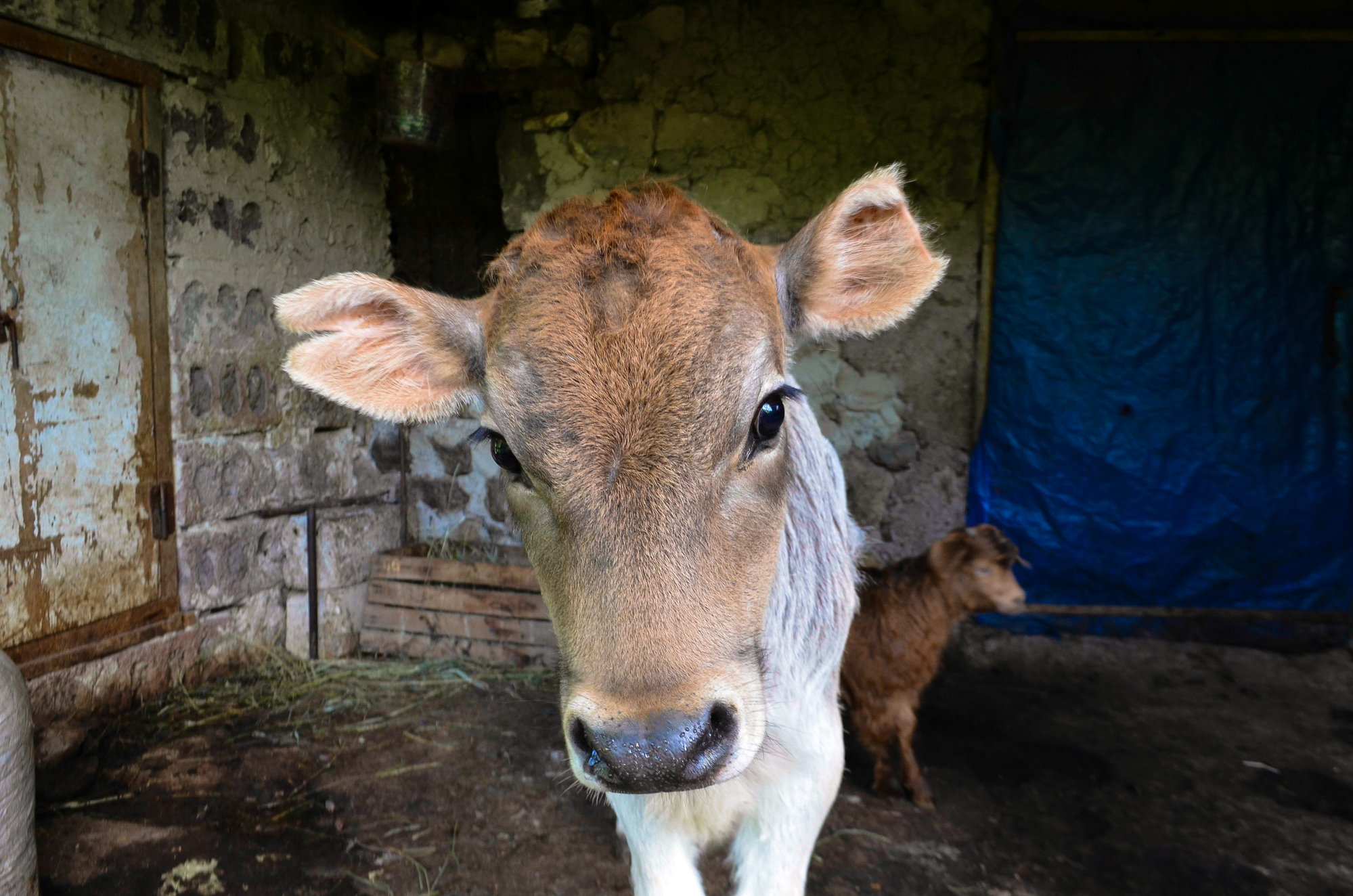 A curious cow and her calf in the mountain village of Garatomb.