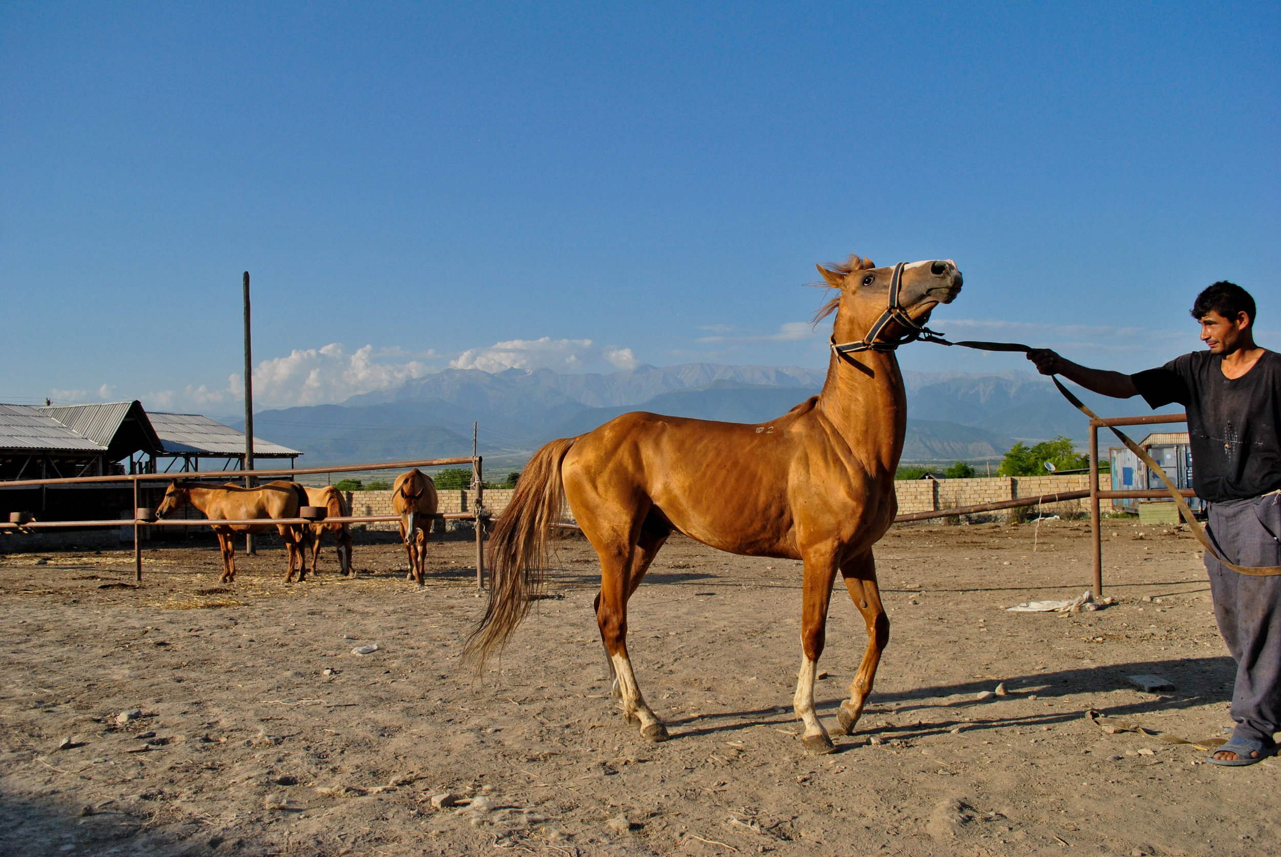 One of the few remaining Karabagh horses - a breed that was almost extinguished during the Azerbaijan-Armenian war in the 1990's.
