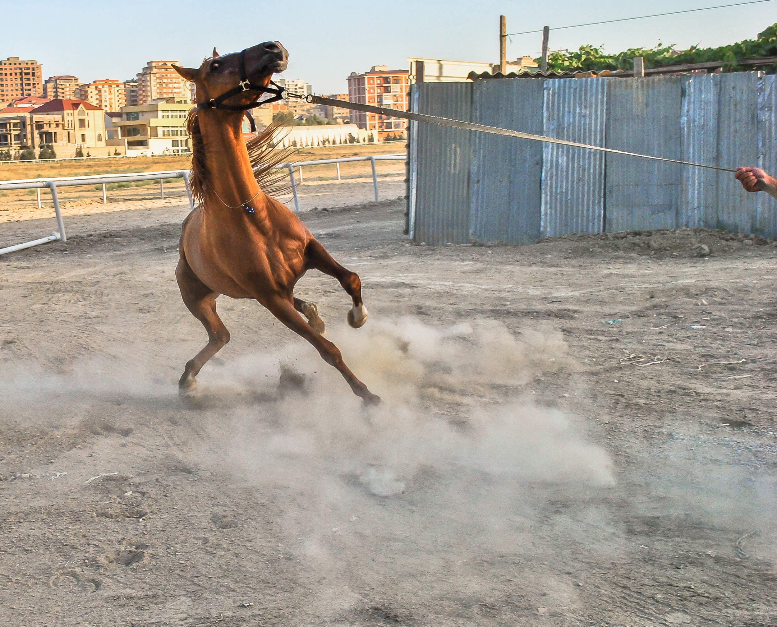 A lively example the famous breed of Karabakh horses presented by the man who rescued the breed during the shelling of Agdam during the Azerbaijan-Armenian war of the early 1990s.