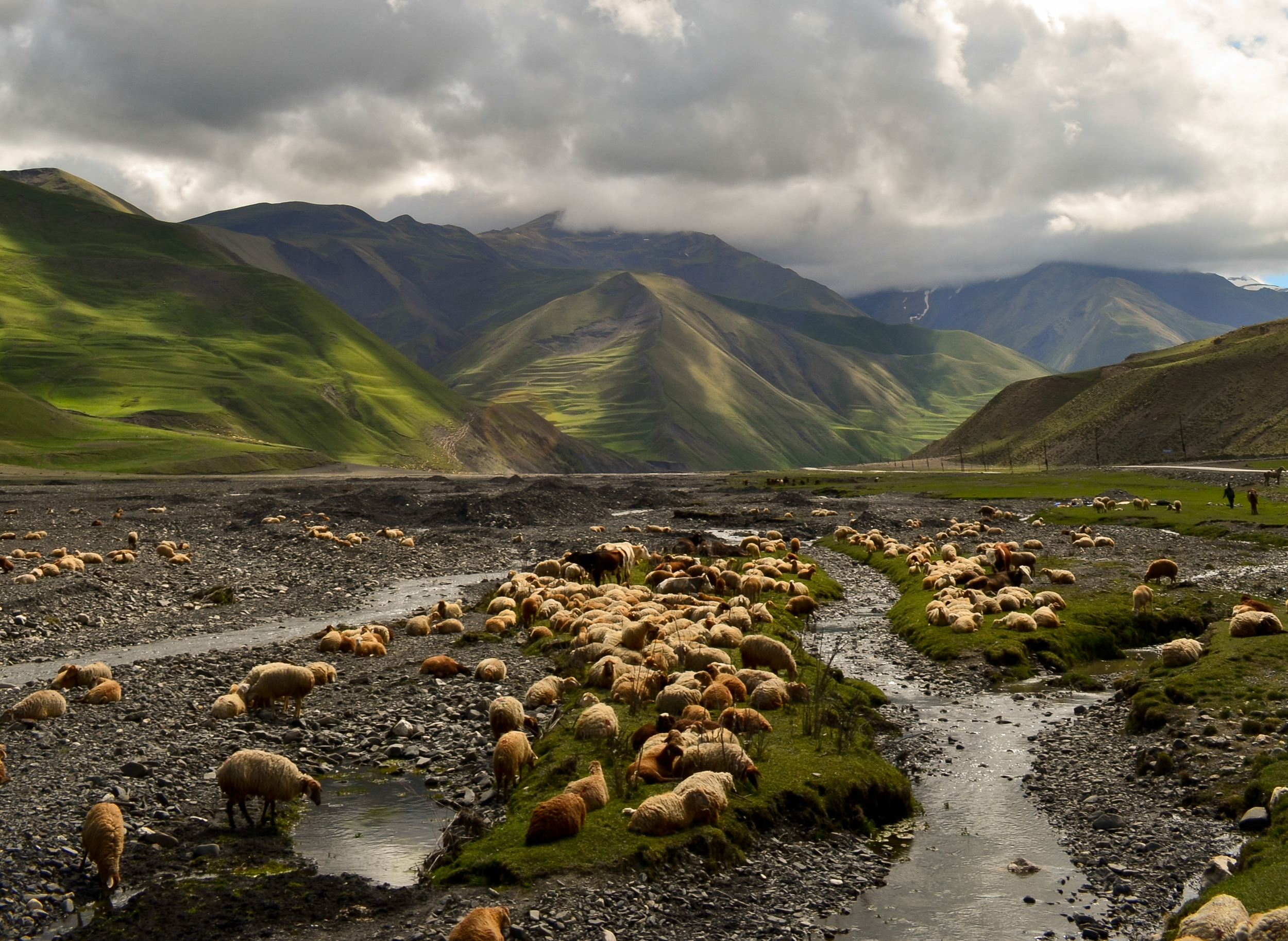 A flock of sheep on their way back to Xinaliq after a winter in the lowlands.