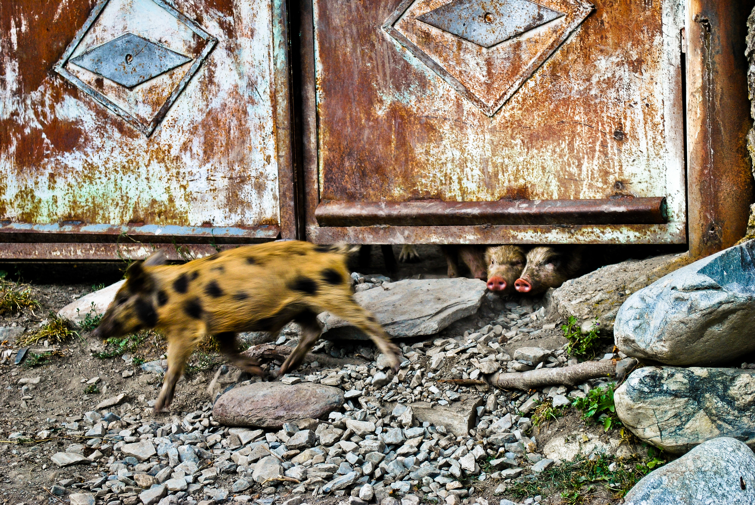 Eager piglets run to their mother in the remote Georgian village of Mestia.