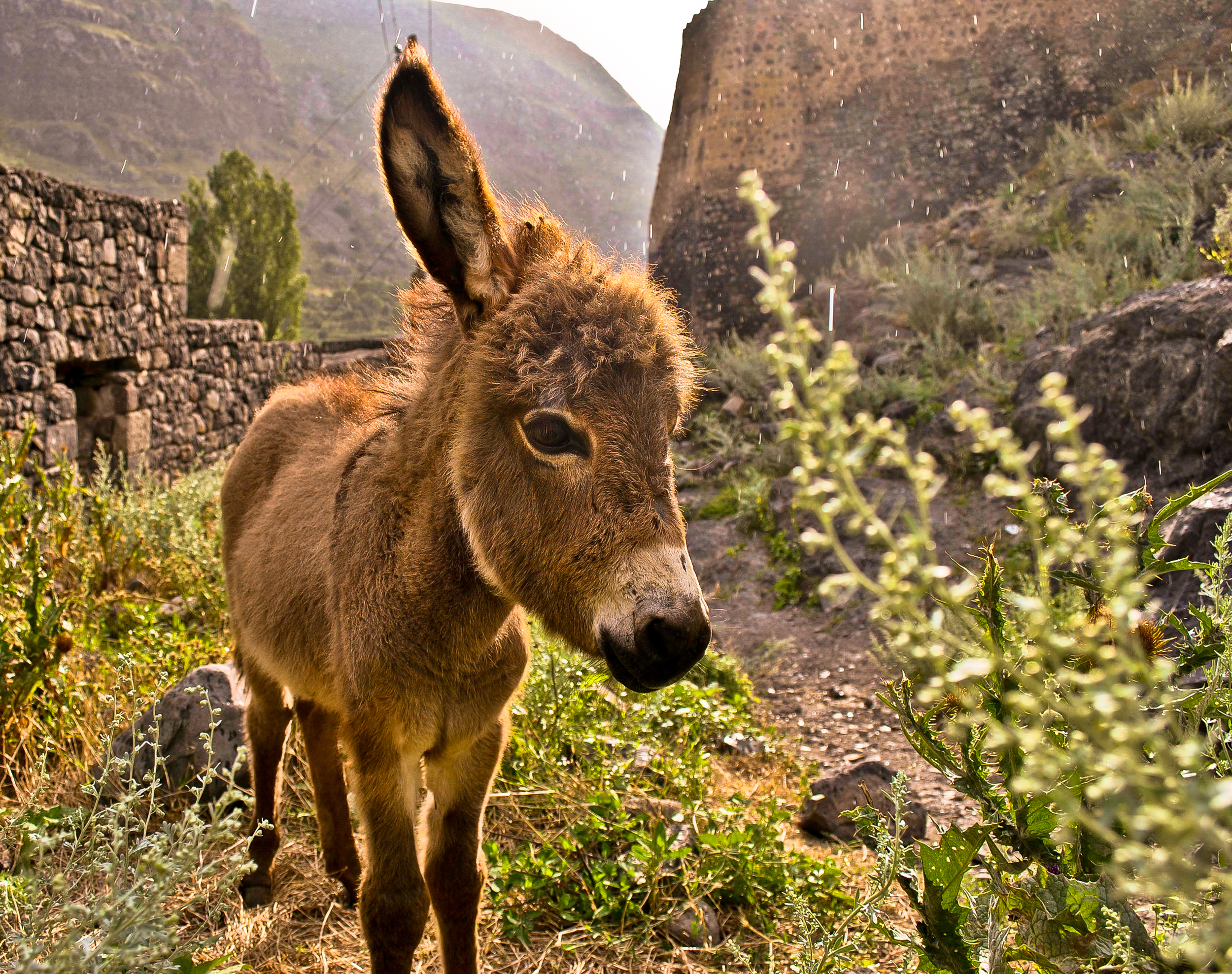 A young donkey wandering the ruins of an ancient fortress.
