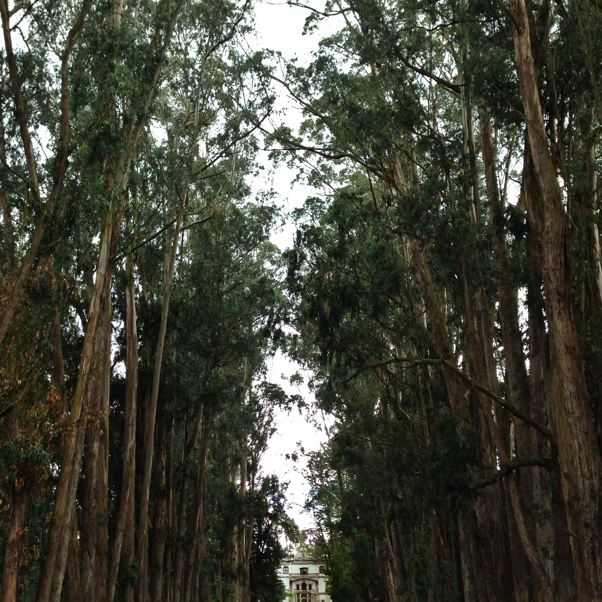 Gorgeous eucalyptus trees lining the entrance