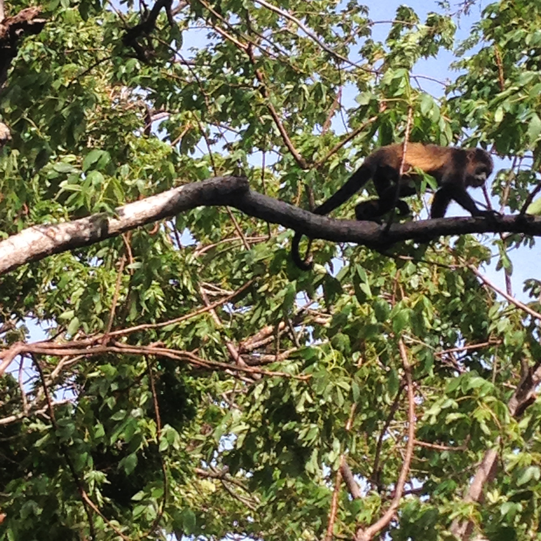 the Howler monkeys were most active in the early morning, they're loud but make a great alarm clock!