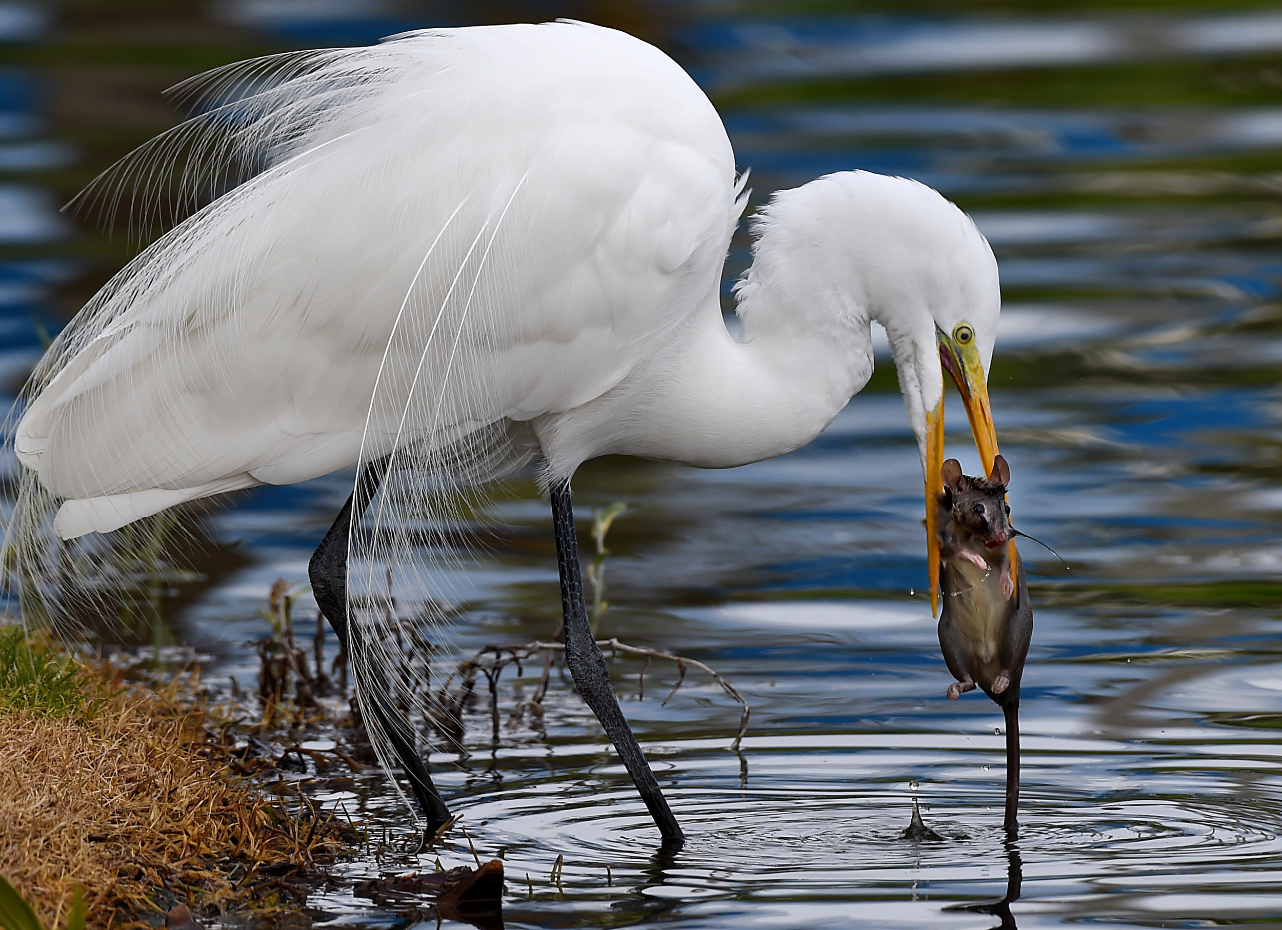 A Great Egret catches a rat at Centrelake Business Park in Ontario on Sunday, January 13, 2019.