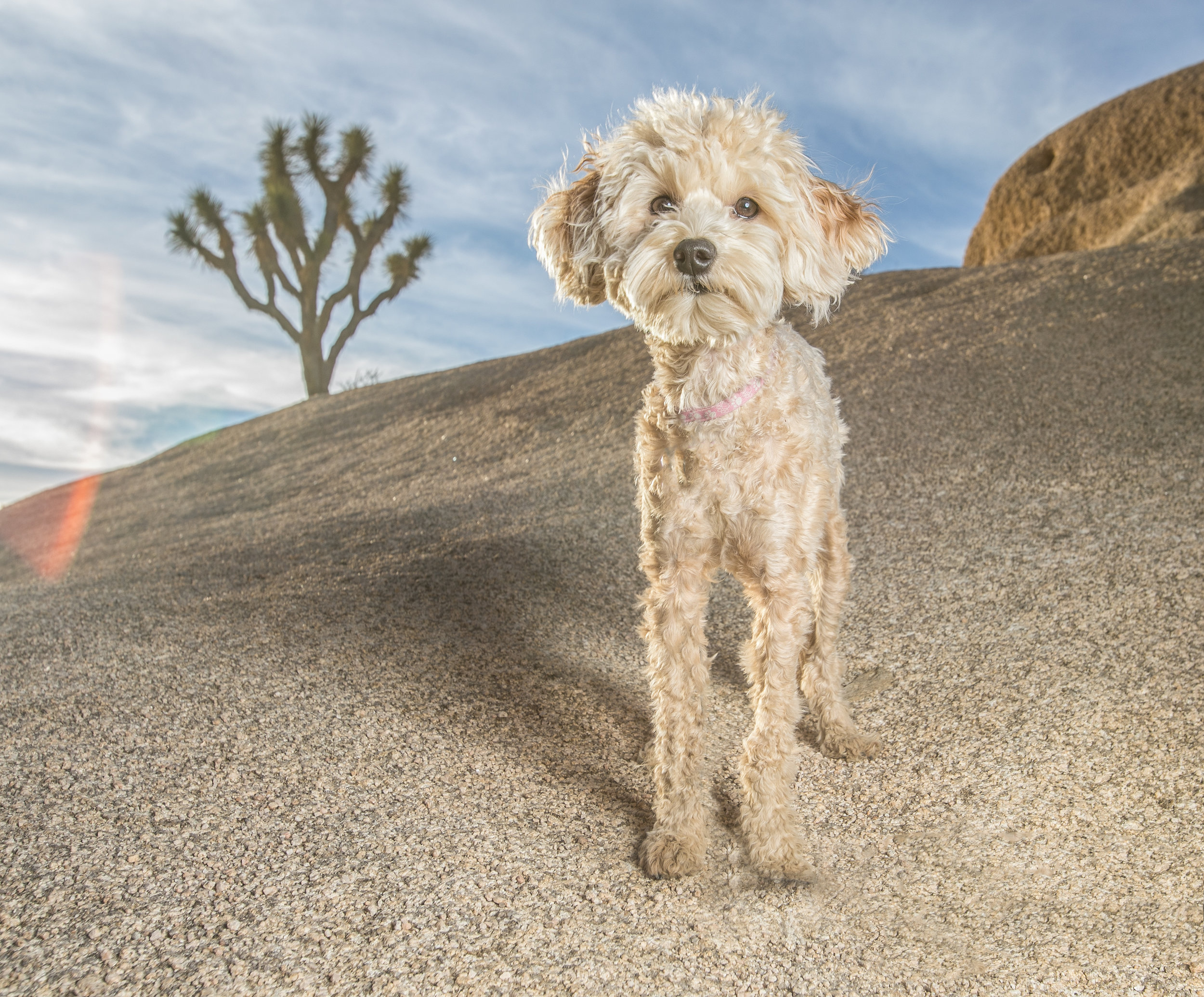 This is my dog, Hope. She and her big brother, Sam are the loves of my life. We all took a road trip yesterday out to the desert in Joshua Tree, Ca. and made some new memories. This photo is already printed and ready to go into a beautiful frame.