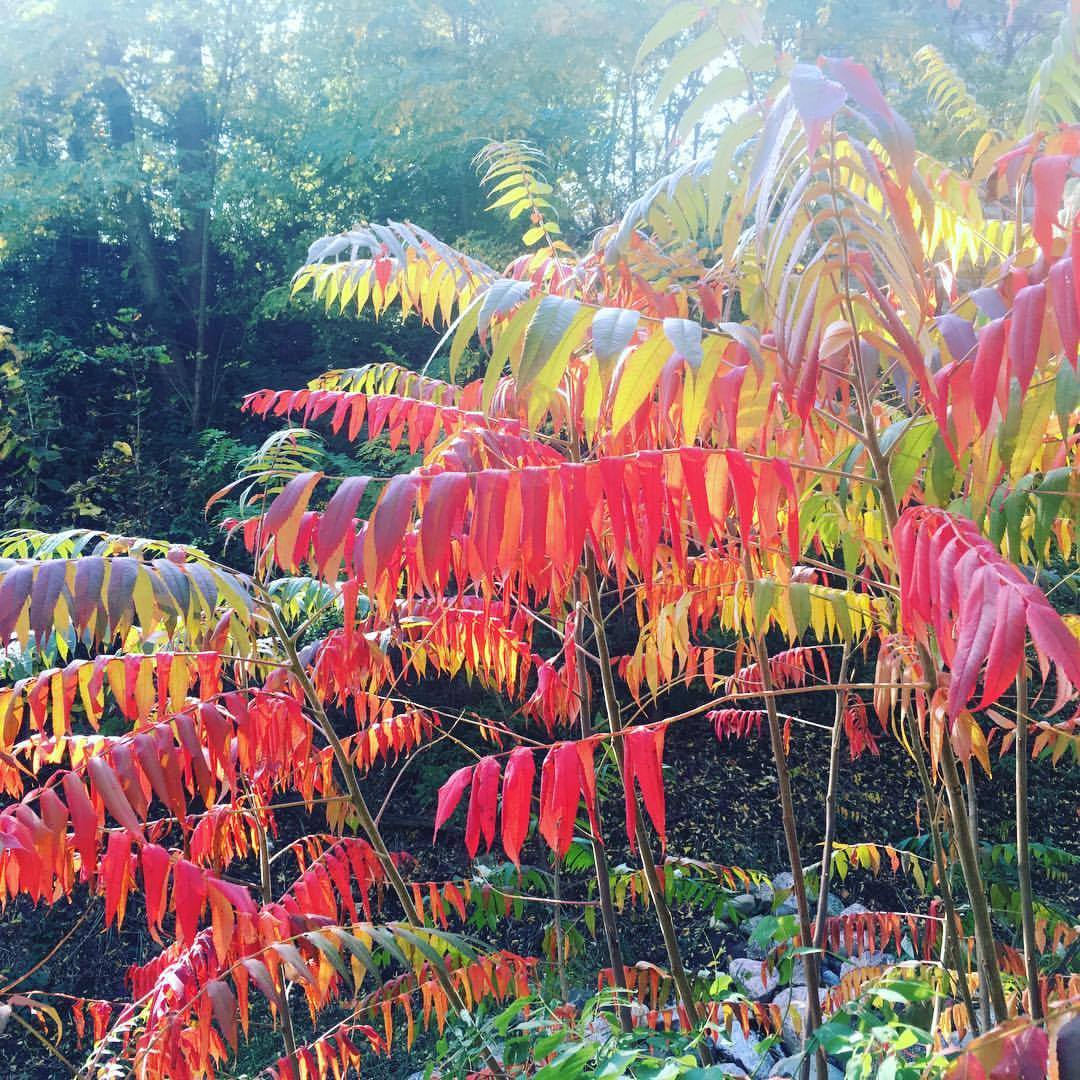 North American Sumac - shared with permission from  Carrie Drought