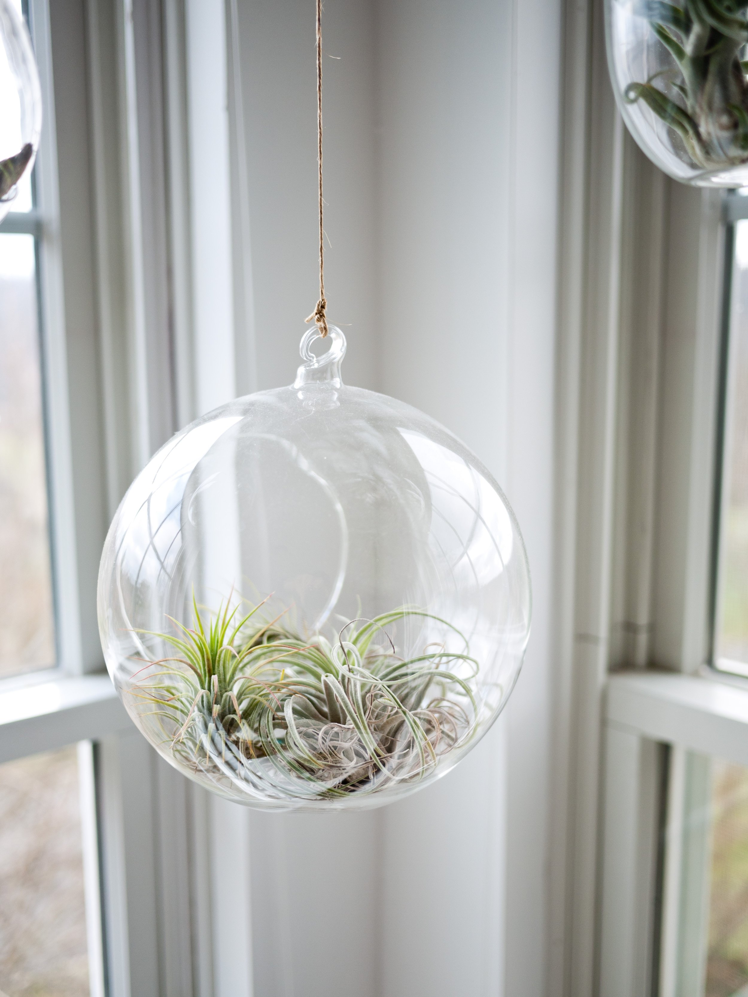 The 10 Essential House Plants - Air Plant